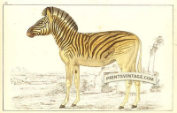 Quagga (extinct)