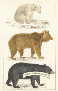 Black Bear of America, Brown Bear of Europe and Polar Bear