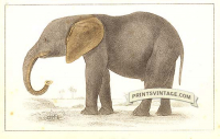 African Elephant (young)