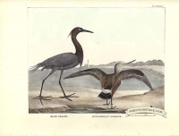 Blue Crane and Hudsonian Godwit