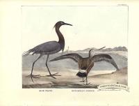 Blue Crane and Hudsonian Godwit