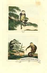 Douc, Talapoin and Sai monkeys - South America