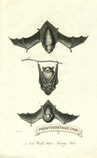 New York bat and Hoary Bat - North America