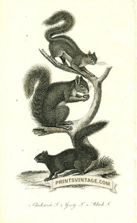 Chickaree Squirrel, Grey Squirrell and Black Squirrel - North Am