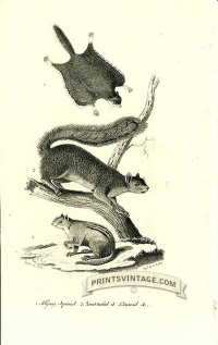 Flying Squirrel, Great-tailed Squirrel and Ground Squirrel - Nor