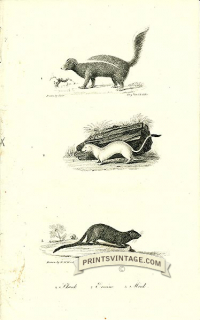 Skunk, Ermine and Mink - North America