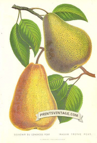 Pears - Souvenir du Congress Pear and Madame Treyve Pear