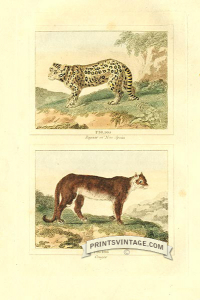 Jaguar of New Spain and Cougar