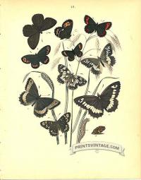 Butterflies - Satyridae - Heath and Ringlet