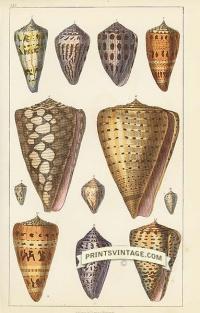 Sea Shells - General, Hebrew, Ornamented, marbled, Jasper, Ceylo