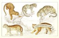 Leopard, Niewied Cat, Clouded Tiger (Leopard), Ocelot and Sumatr