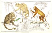 Black Howler and Ursine Howler Monkeys