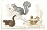 Squirrels - American Black Squirrel, Chickaree Squirrel and Grey