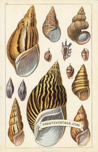 Sea Shells - Acute, Variegated, Turbo Scalaris, Zebra, Fiery, Ch