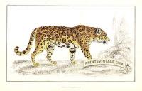 Jaguar (female)