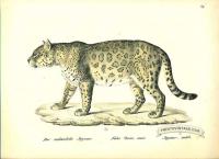 Jaguar (male) - Felis onca