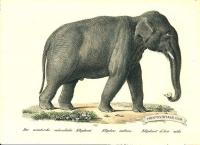 Indian Elephant (male) - Elephas indicus