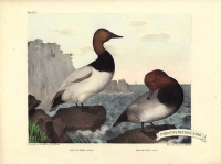 Canvas Back duck and Red Headed duck