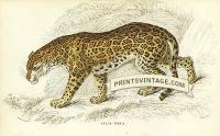 The Jaguar or American Panther