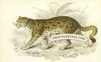 The Sumatran Cat