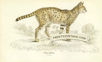 The Serval