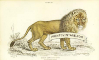 The Lion (III)