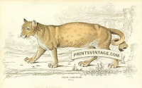 The Puma, or American Lion