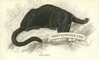 The Black Puma