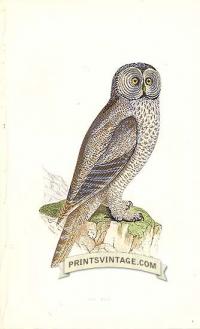 Lap Owl
