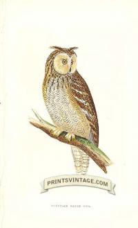 Egyptian Eared Owl