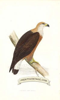 Pallas's Sea Eagle