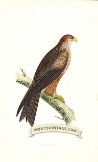 Arabian Kite