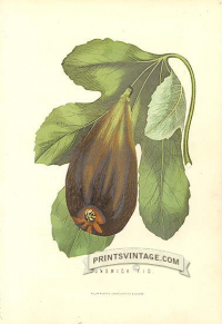 Fig - Brunswick Fig